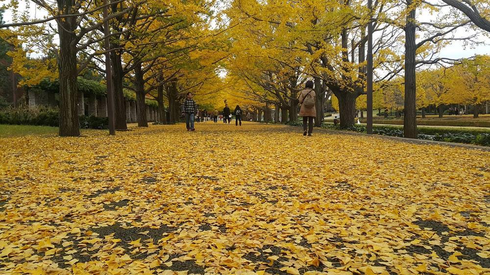 【2020東京銀杏】日本秋季限定賞銀杏景點、銀杏見頃時間、交通總整理