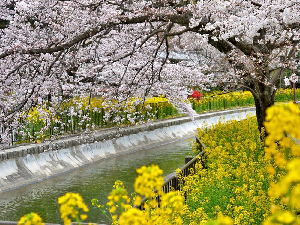 【1/9日本發表】2020日本櫻花最前線!日本各地開花、滿開時間預測!
