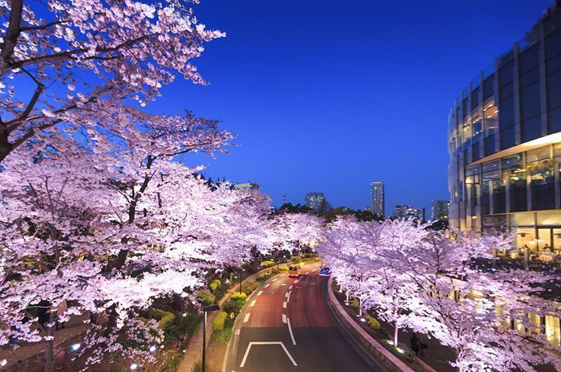 東京夜櫻必賞!MIDTOWN BLOSSOM 2020 東京六木本超人氣櫻花隧道!