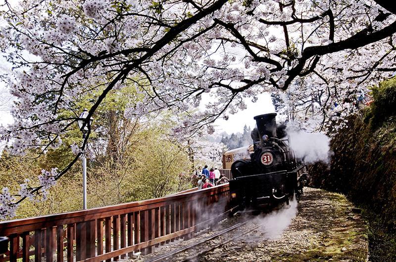 【2020阿里山櫻花季】阿里山芬多精之旅:觀星賞櫻路線、交管、住宿推薦