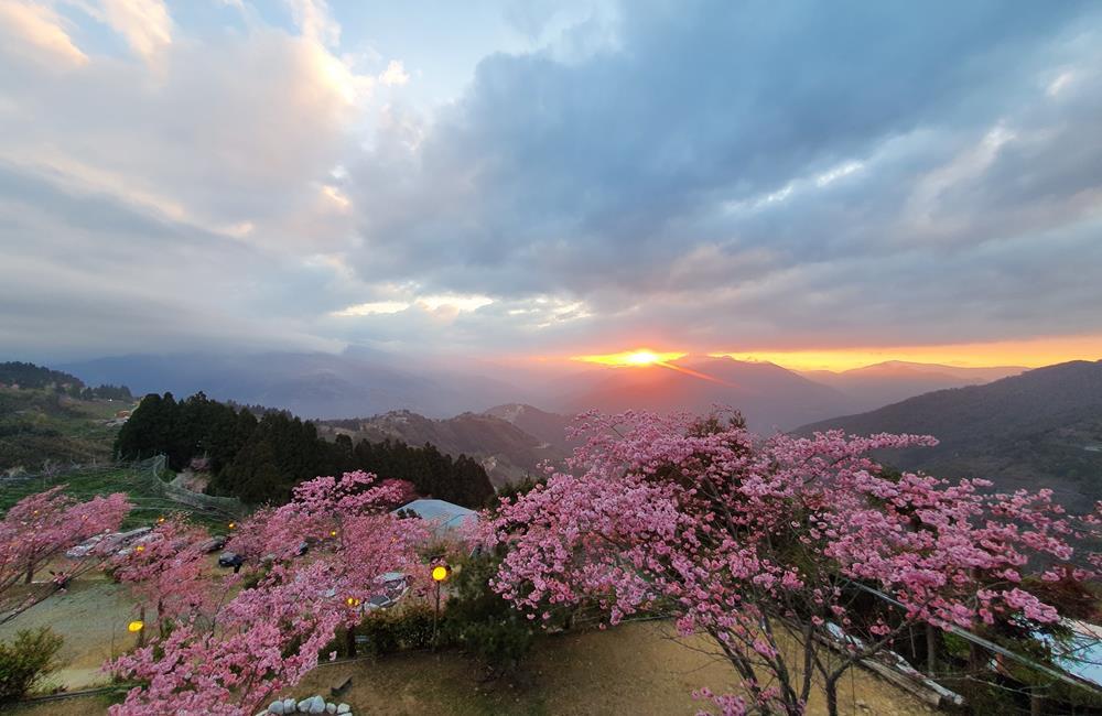 拉拉山恩愛農場 櫻花