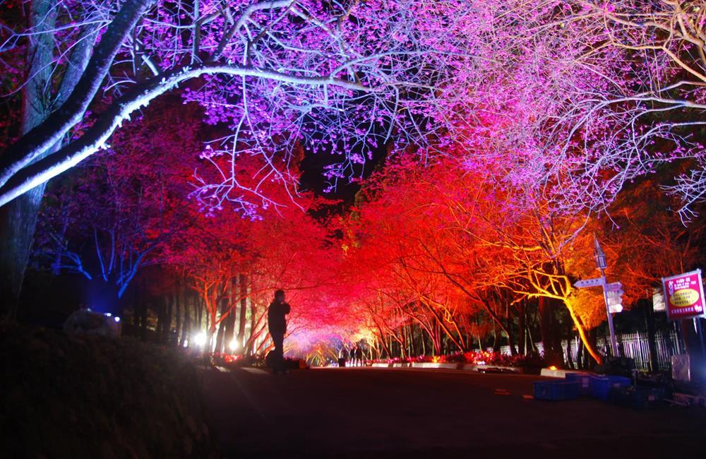 九族文化村 夜櫻