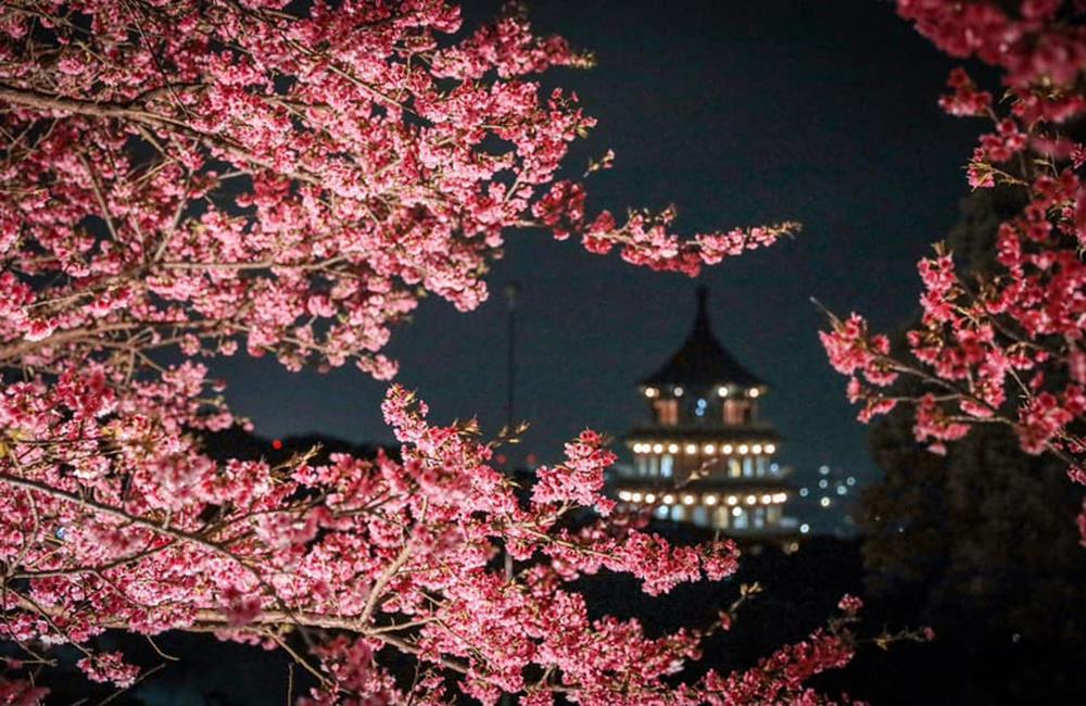 淡水天元宮夜櫻