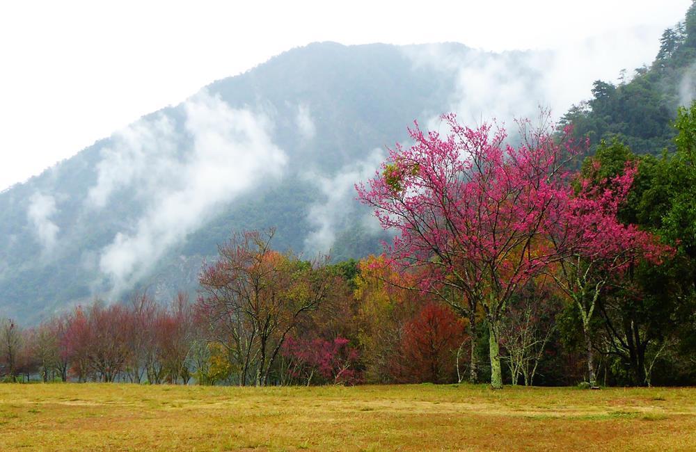 奧萬大森林遊樂區 櫻花