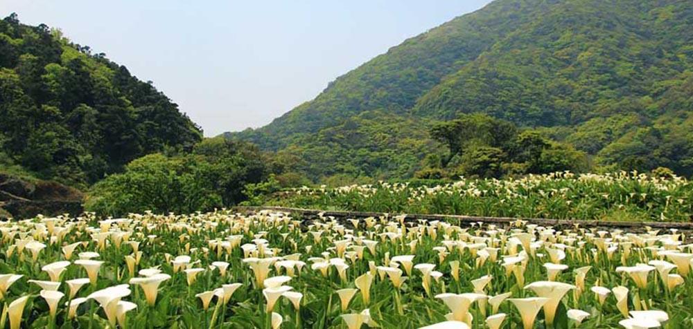 陽明山竹子湖,繡球,海芋,繡球花季,海芋季